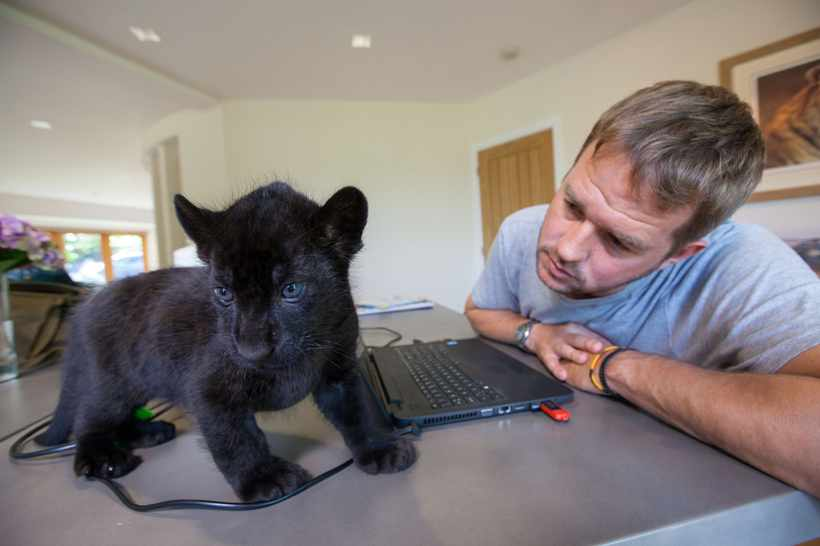 Programme Name: Big Cats About the House - TX: 22/03/2018 - Episode: n/a (No. 1) - Picture Shows: with Maya, jaguar cub Giles Clark - (C) BBC NHU - Photographer: Joe Manning